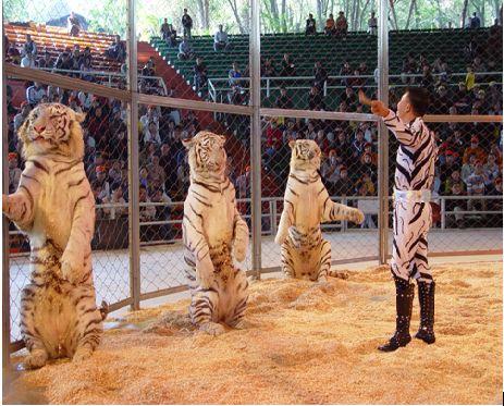 广州香江白虎文化节-香江野生动物世界
